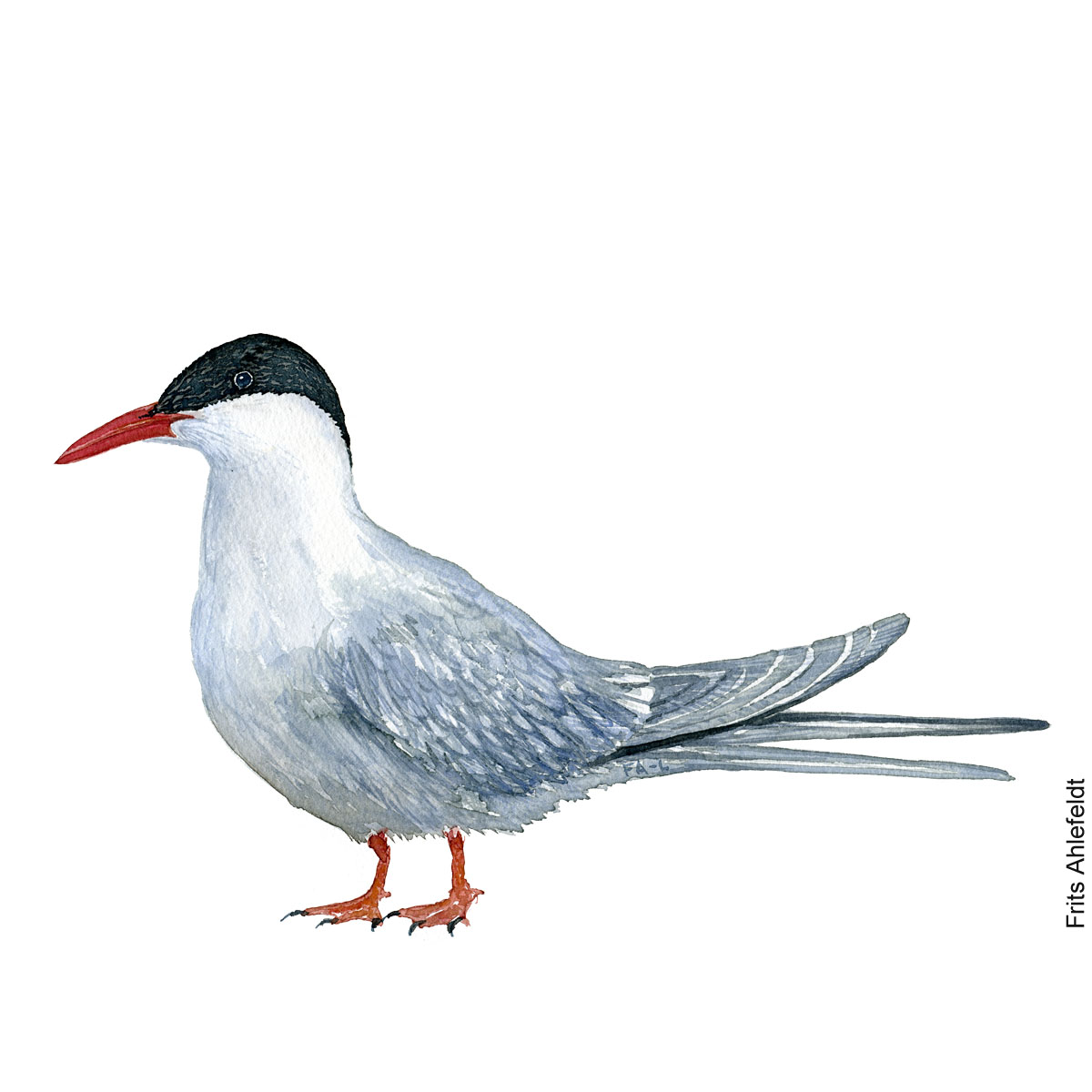 Arctic tern. Bird watercolor illustration handmade by Frits Ahlefeldt