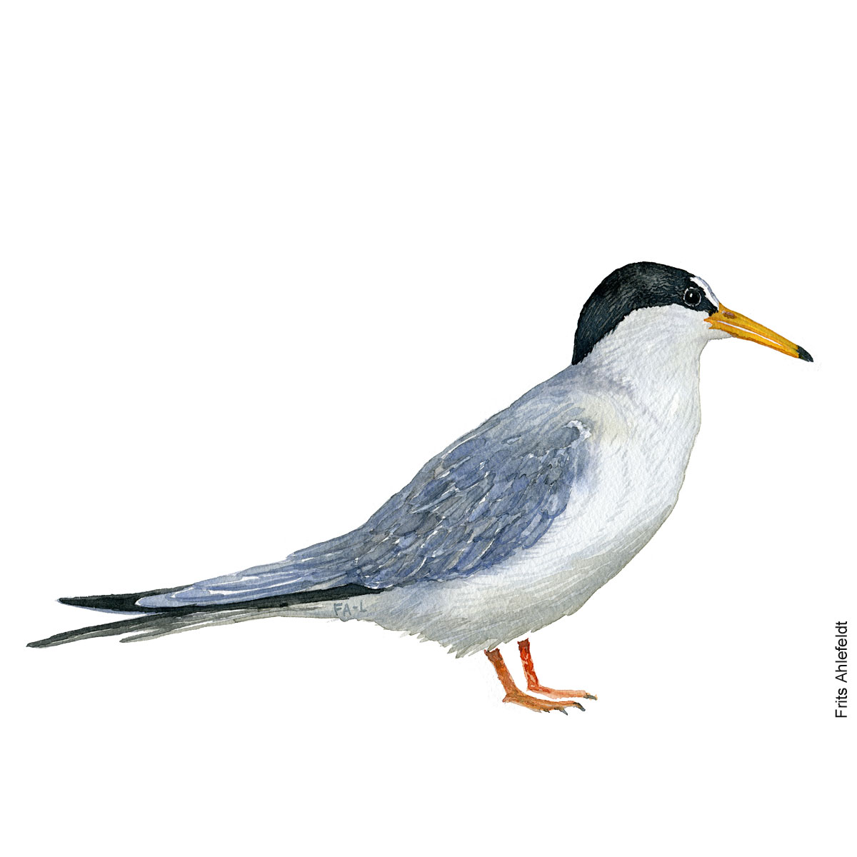 Little tern. Bird watercolor illustration handmade by Frits Ahlefeldt