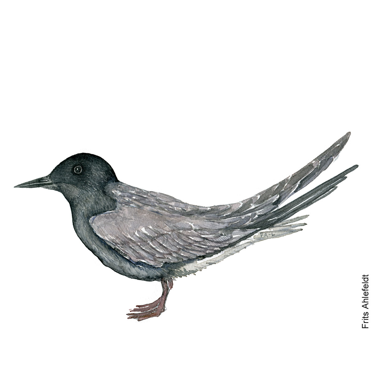 Black tern. Bird watercolor illustration handmade by Frits Ahlefeldt