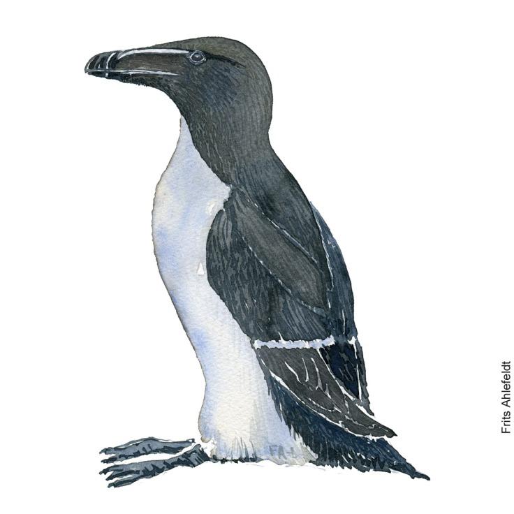 Alk - Razorbill bird watercolor painting. Artwork by Frits Ahlefeldt. Fugle akvarel