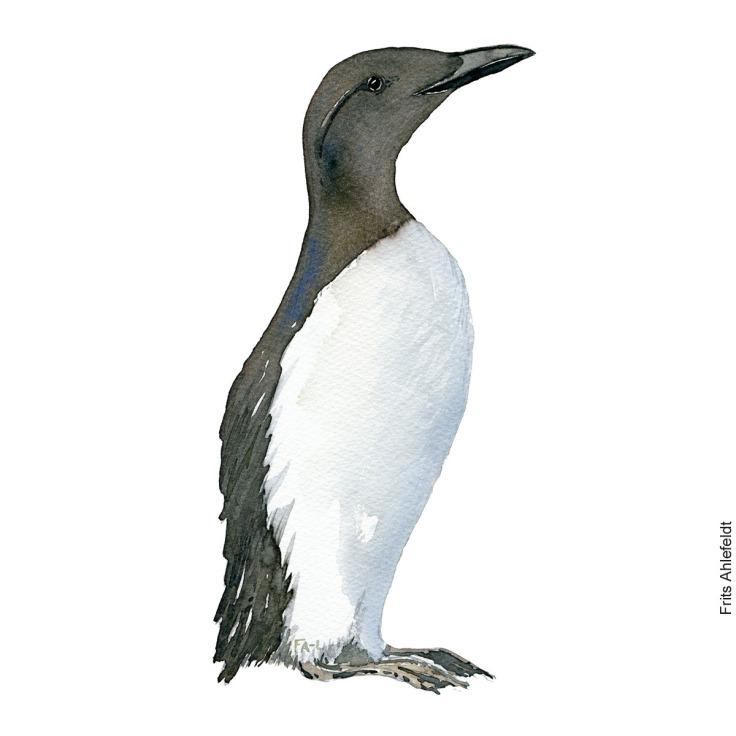 Lomvie - Common murre, Guillemot bird watercolor painting. Artwork by Frits Ahlefeldt. Fugle akvarel