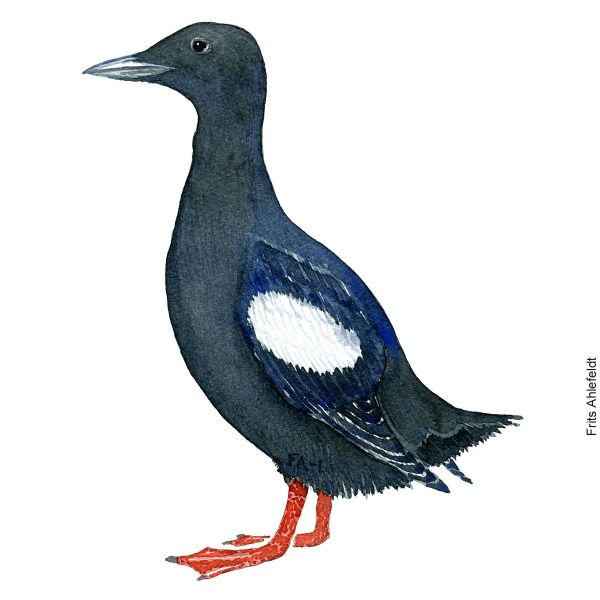 Tejst - Black guillemot bird watercolor painting. Artwork by Frits Ahlefeldt. Fugle akvarel