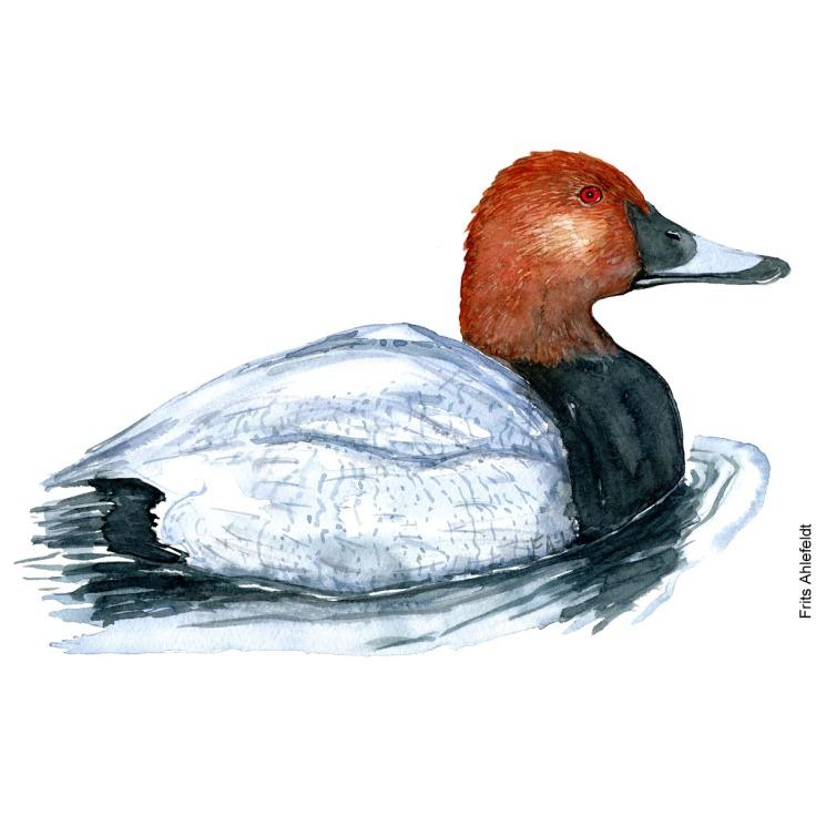 Taffeland - Common pochard bird watercolor painting. Artwork by Frits Ahlefeldt. Fugle akvarel
