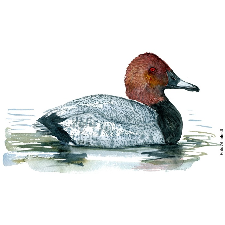 Taffeland - Common pochard bird watercolor painting. Artwork by Frits Ahlefeldt. Fugle akvarel