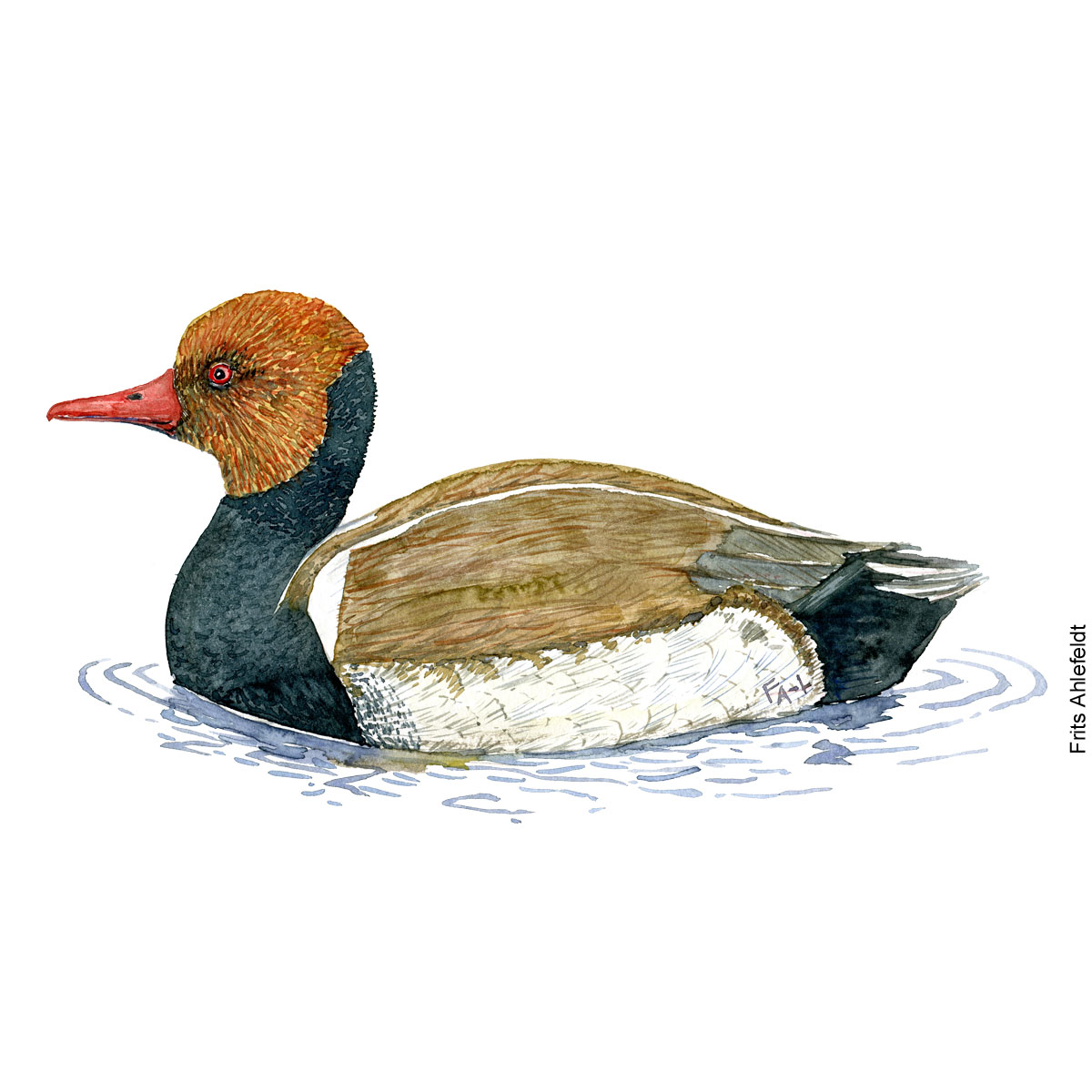 Roedhovedet and - Red crested pochard duck. bird watercolor painting. Artwork by Frits Ahlefeldt. Fugle akvarel