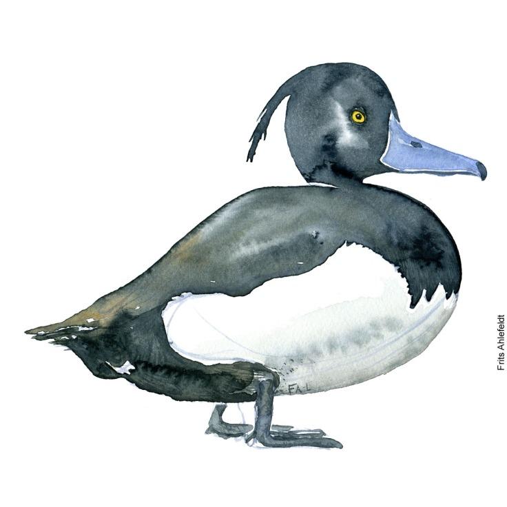 Troldand - Tufted duck bird watercolor painting. Artwork by Frits Ahlefeldt. Fugle akvarel