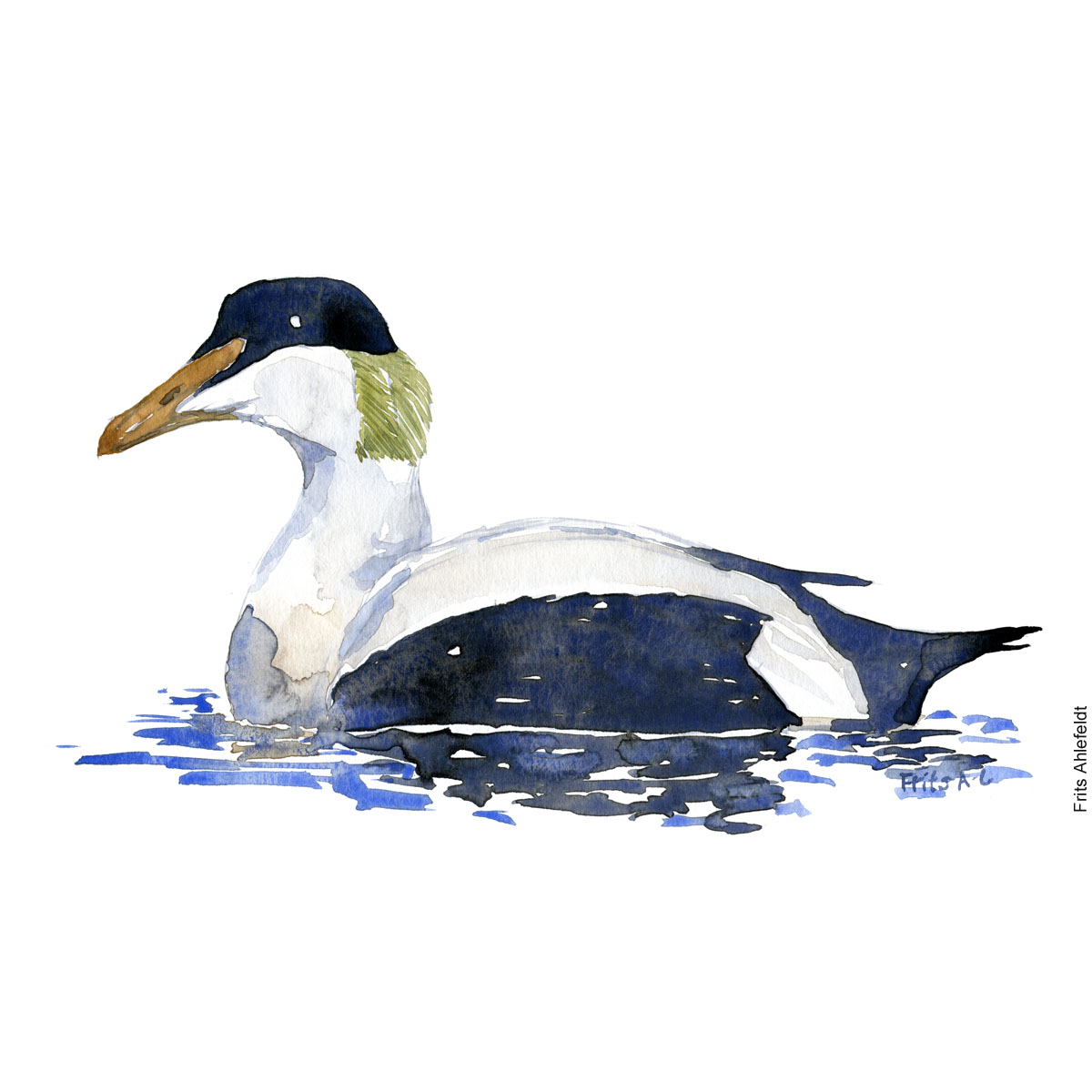 Edderfugl - Common eider bird watercolor painting. Artwork by Frits Ahlefeldt. Fugle akvarel