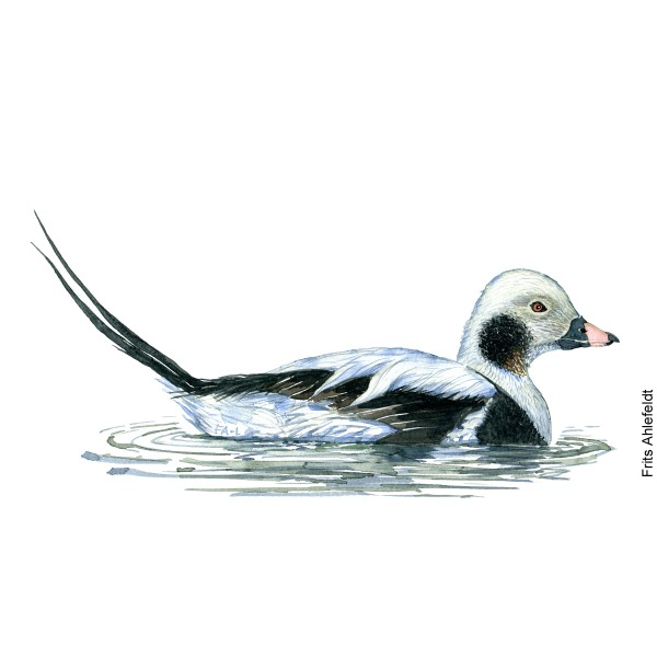 Havlit - Long tailed duck bird watercolor painting. Artwork by Frits Ahlefeldt. Fugle akvarel