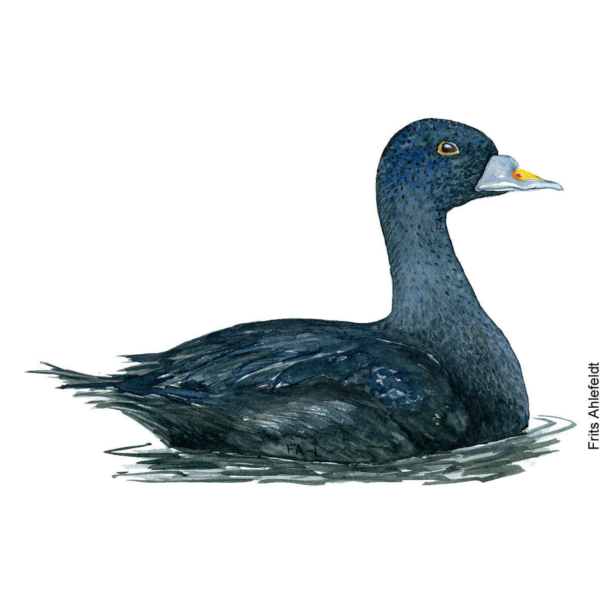 Sortand - Common scoter duck bird watercolor painting. Artwork by Frits Ahlefeldt. Fugle akvarel