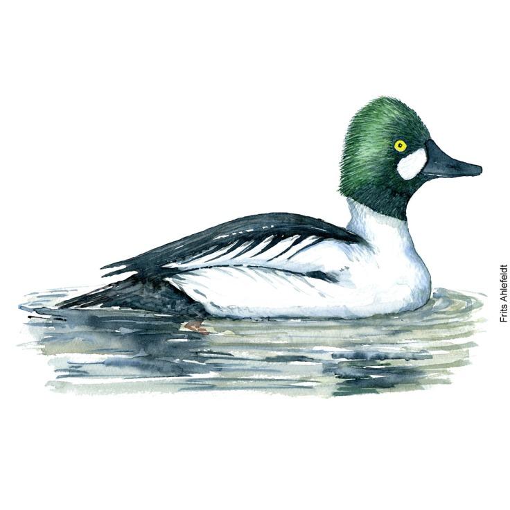 Hvinand - Common goldeneye duck bird watercolor painting. Artwork by Frits Ahlefeldt. Fugle akvarel