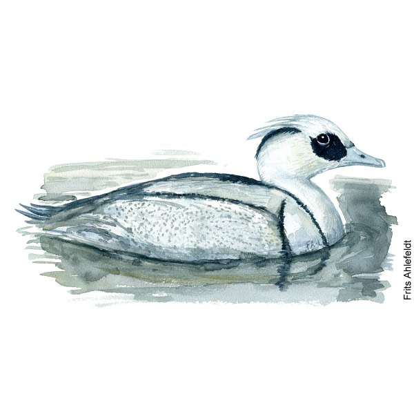 Lille skallesluger - Smew bird watercolor painting. Artwork by Frits Ahlefeldt. Fugle akvarel