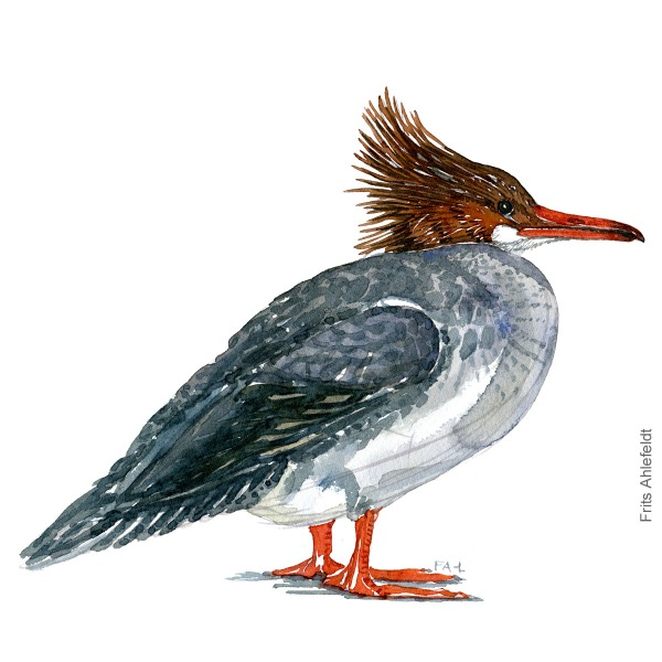 Stor skallesluger - Common merganser bird watercolor painting. Artwork by Frits Ahlefeldt. Fugle akvarel