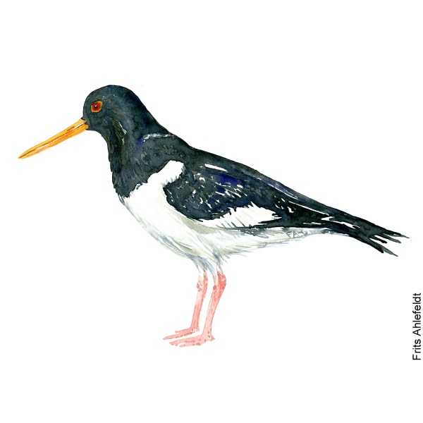 Strandskade - Eurasian oyster catcher bird watercolor painting. Artwork by Frits Ahlefeldt. Fugle akvarel