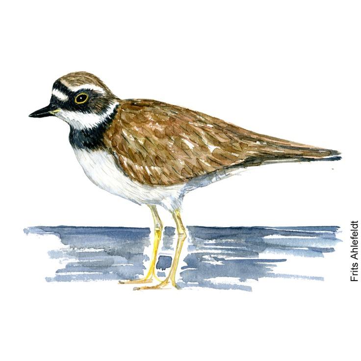 Lille præstekrage - Little ringed plover bird watercolor painting. Artwork by Frits Ahlefeldt. Fugle akvarel