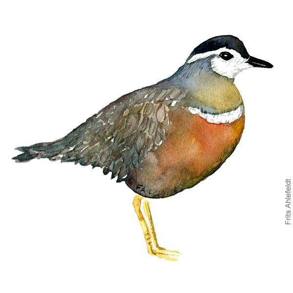 Pomeransfugl female. Eurasian dotterel bird watercolor painting. Artwork by Frits Ahlefeldt. Fugle akvarel