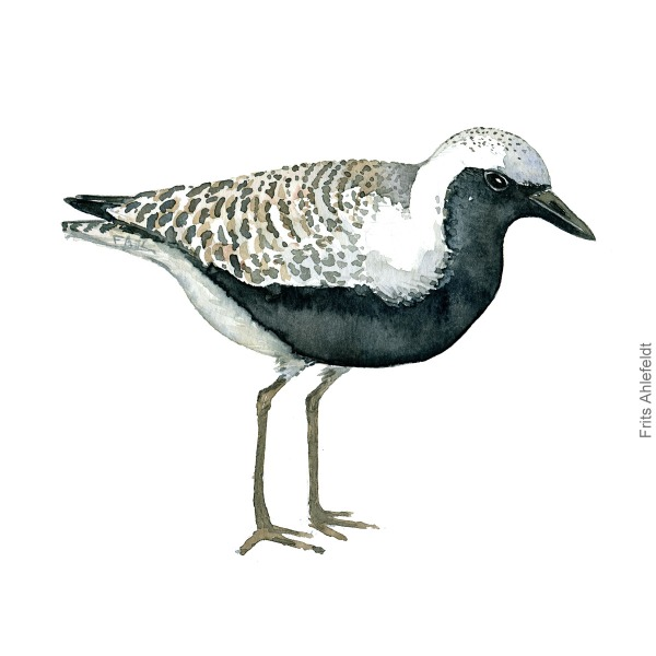 Strandhjejle - Grey plover bird watercolor painting. Artwork by Frits Ahlefeldt. Fugle akvarel