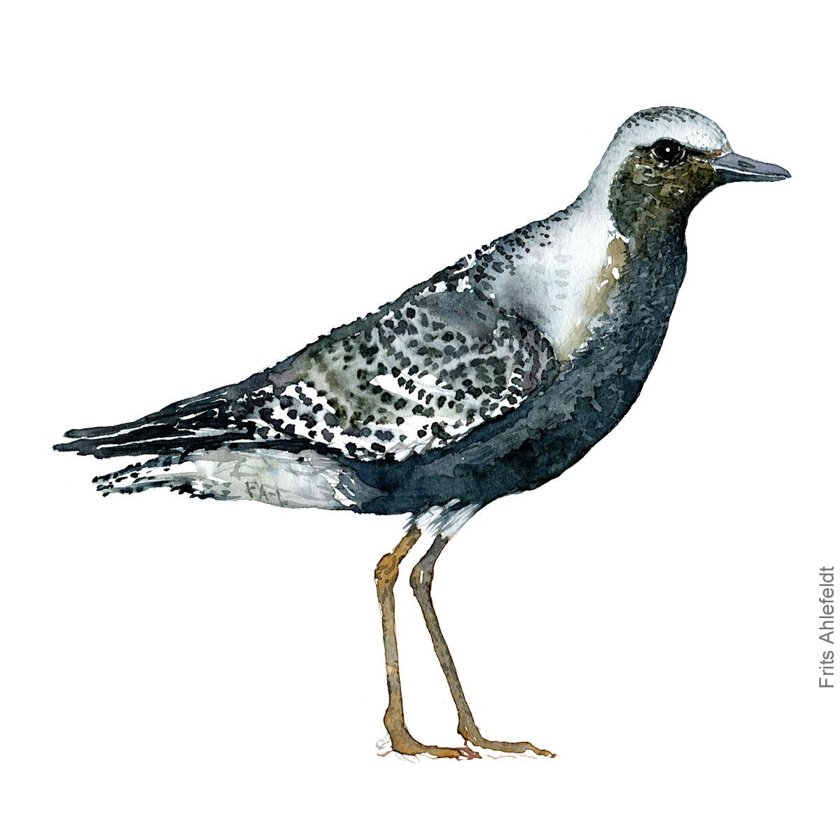 Strandhjejle - Grey plover bird watercolor painting. Artwork by Frits Ahlefeldt. Fugle akvarel