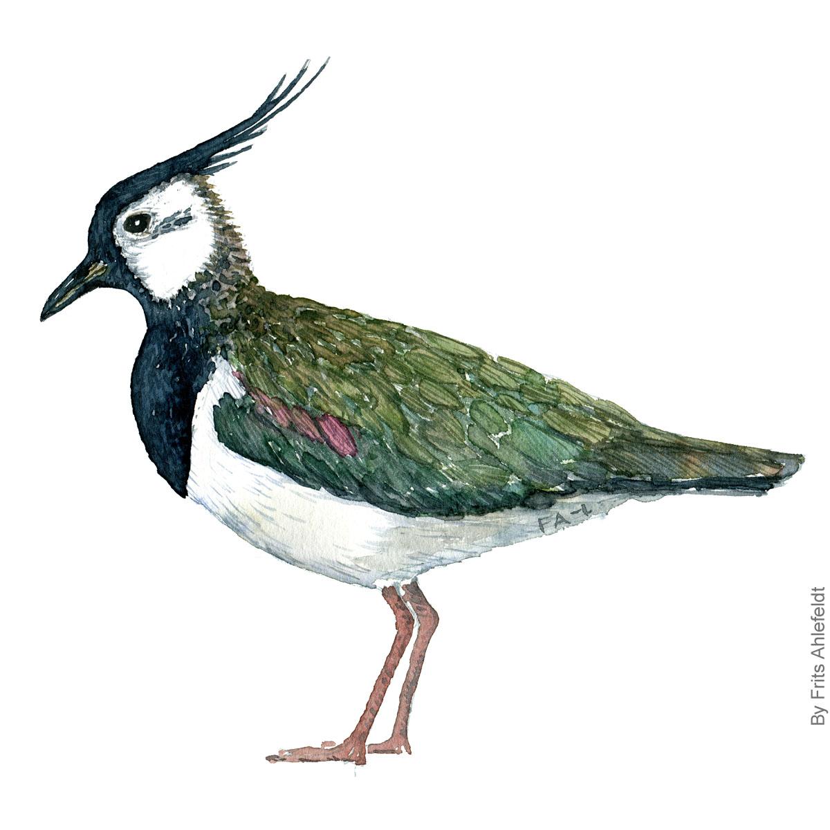 Vibe - Northern Lapving bird watercolor painting. Artwork by Frits Ahlefeldt. Fugle akvarel