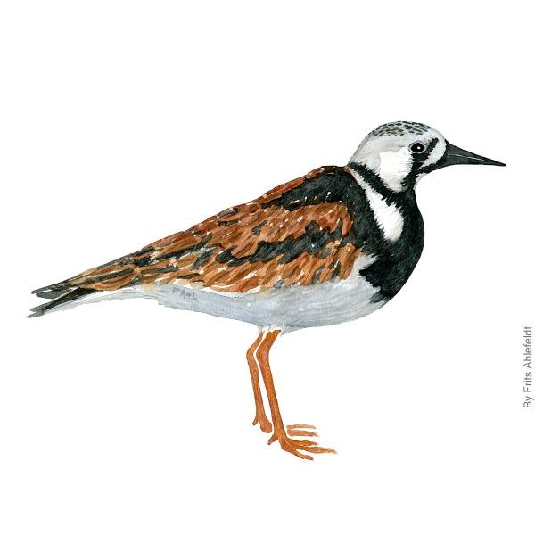 Stenvender - Rudy turnstone bird watercolor painting. Artwork by Frits Ahlefeldt. Fugle akvarel