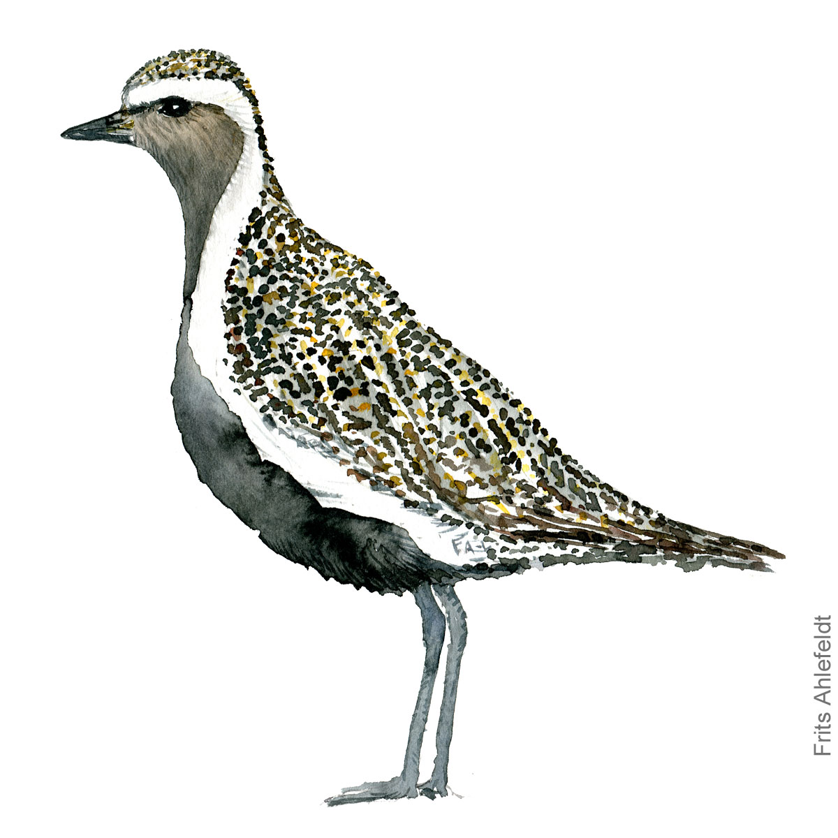 Hjejle - Golden plover bird watercolor painting. Artwork by Frits Ahlefeldt. Fugle akvarel