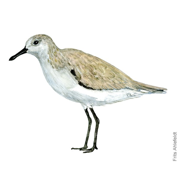 Sandloeber - Sanderling bird watercolor painting. Artwork by Frits Ahlefeldt. Fugle akvarel
