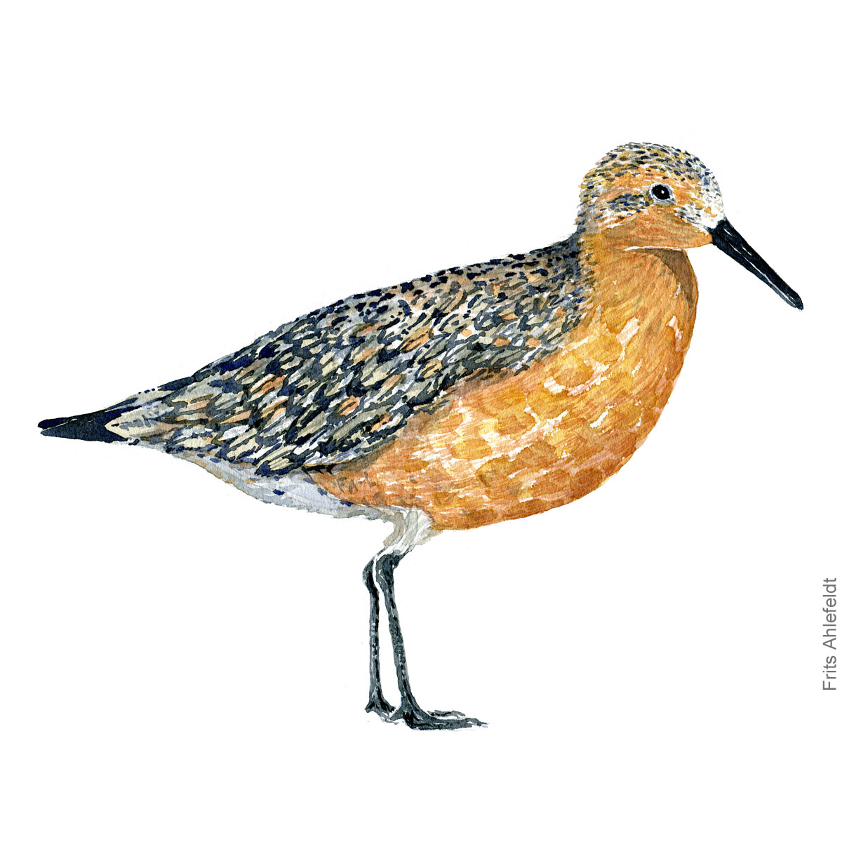 Islandsk ryle - Red knot bird watercolor painting. Artwork by Frits Ahlefeldt. Fugle akvarel