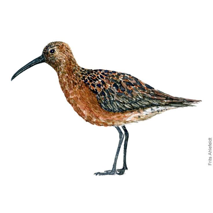 Krumnaebbet ryle - Curly sandpiper bird watercolor painting. Artwork by Frits Ahlefeldt. Fugle akvarel