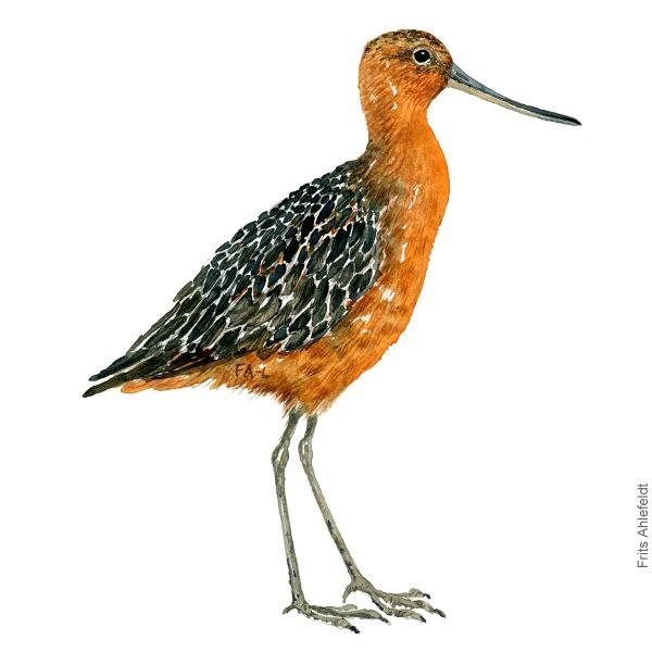 Lille kobbersneppe - Bar tailed godwit bird watercolor painting. Artwork by Frits Ahlefeldt. Fugle akvarel