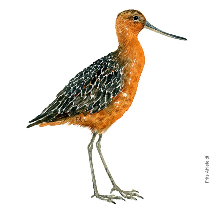 Lille kobbersneppe - Bar tailed godwit bird watercolor painting. Artwork by Frits Ahlefeldt. Fugle akvarel