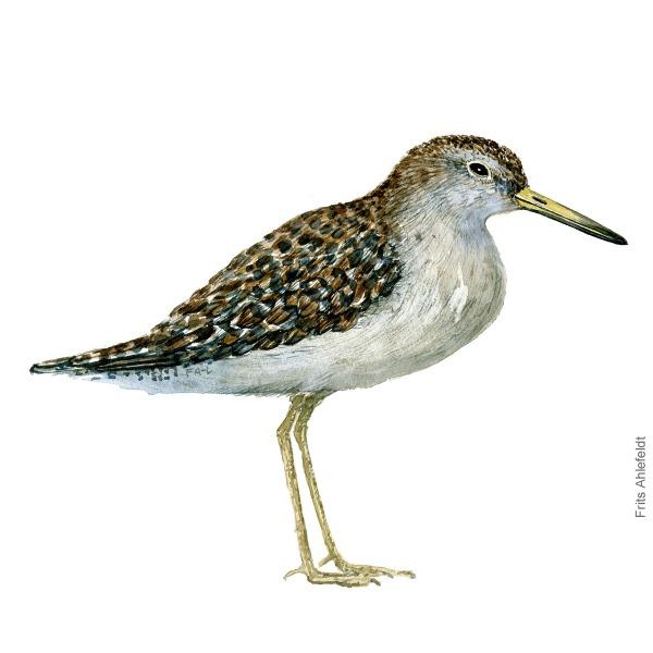 Tinksmed - Wood sandpiper bird watercolor painting. Artwork by Frits Ahlefeldt. Fugle akvarel