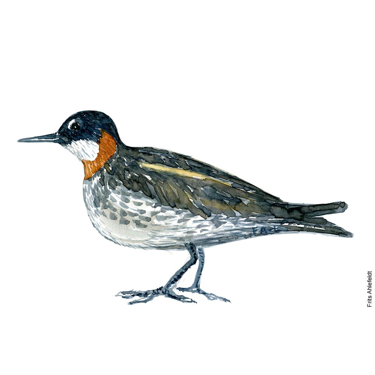 Odinshane - Red necked phalarope bird watercolor painting. Artwork by Frits Ahlefeldt. Fugle akvarel