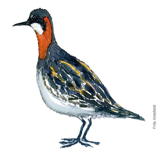 Odinshane - Red-necked phalarope bird watercolor painting. Artwork by Frits Ahlefeldt. Fugle akvarel