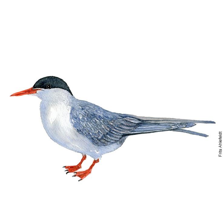 Fjordterne - Common tern bird watercolor painting. Artwork by Frits Ahlefeldt. Fugle akvarel