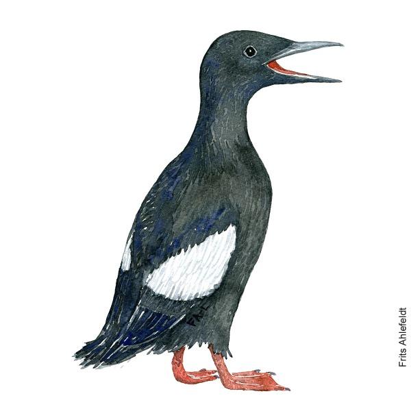 Tejst - Black guillemot bird watercolor painting. Artwork by Frits Ahlefeldt. Fugle akvarel
