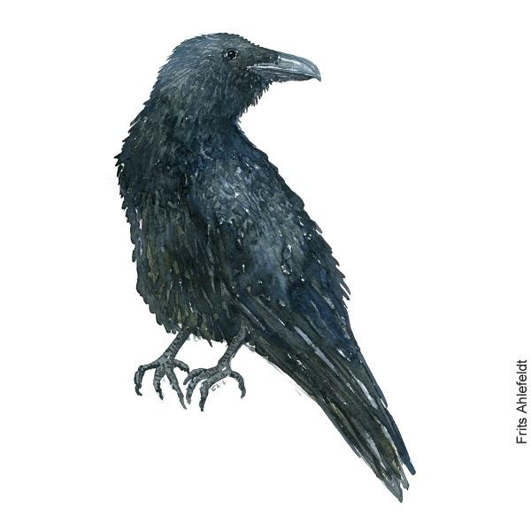 Ravn - Raven bird watercolor painting. Artwork by Frits Ahlefeldt. Fugle akvarel