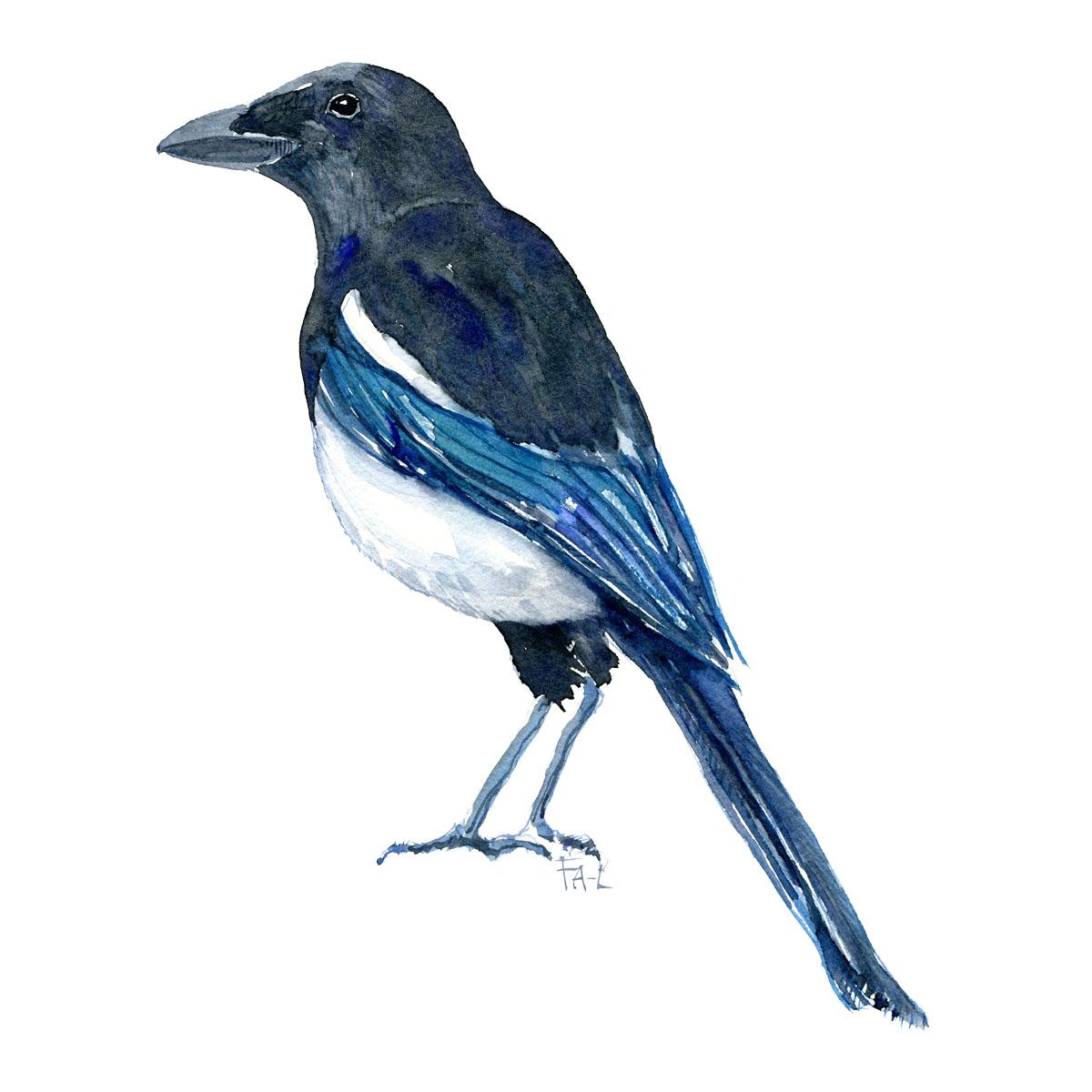 Husskade - Eurasian magpie bird watercolor painting. Artwork by Frits Ahlefeldt. Fugle akvarel