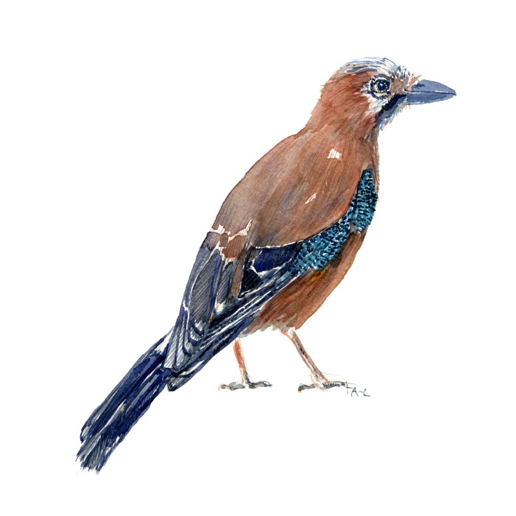 Skovskade - Eurasian Jay bird watercolor painting. Artwork by Frits Ahlefeldt. Fugle akvarel