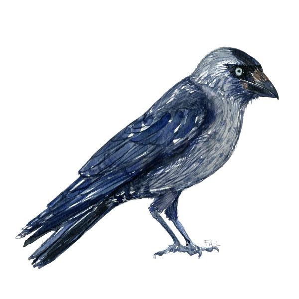 Allike - Western Jacdaw bird watercolor painting. Artwork by Frits Ahlefeldt. Fugle akvarel