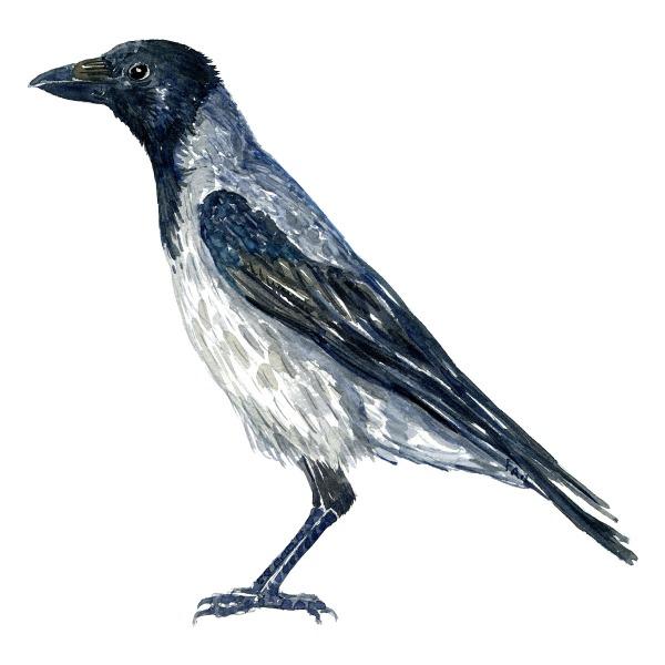 Krage - Crow bird watercolor painting. Artwork by Frits Ahlefeldt. Fugle akvarel