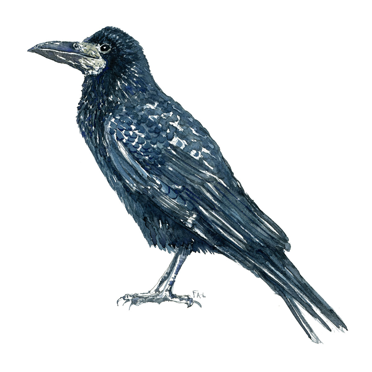 Raage - Rook bird watercolor painting. Artwork by Frits Ahlefeldt. Fugle akvarel
