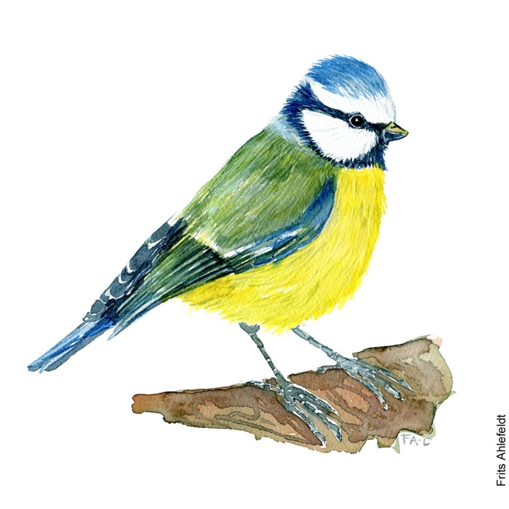 Blue tit bird watercolor painting. Artwork by Frits Ahlefeldt. Fugle akvarel