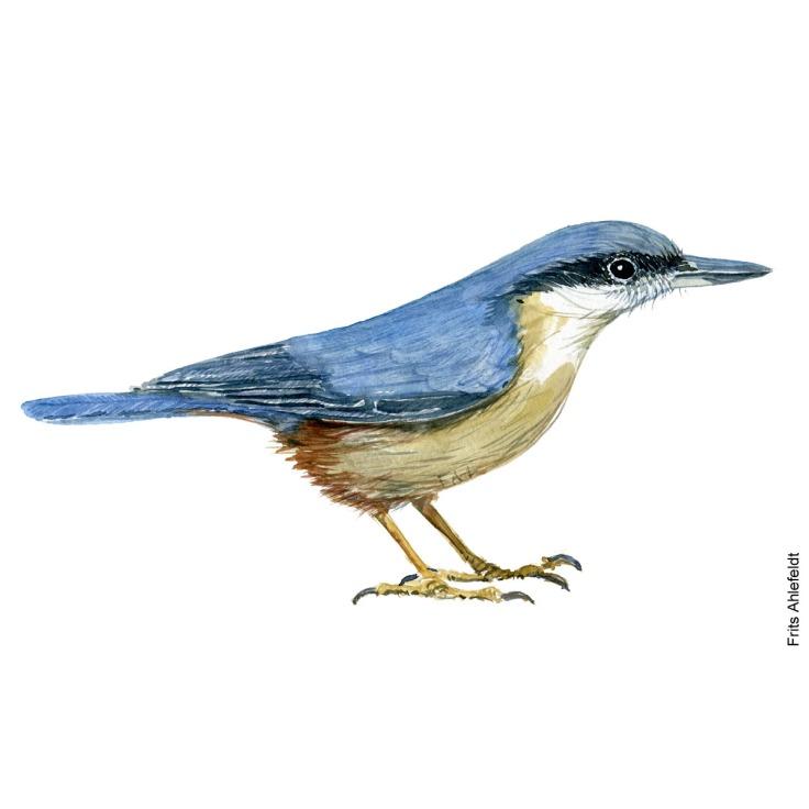 Eurasian nuthatch bird watercolor painting. Artwork by Frits Ahlefeldt. Fugle akvarel