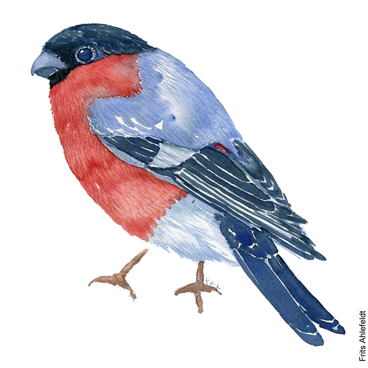 European bullfinch bird watercolor painting. Artwork by Frits Ahlefeldt. Fugle akvarel