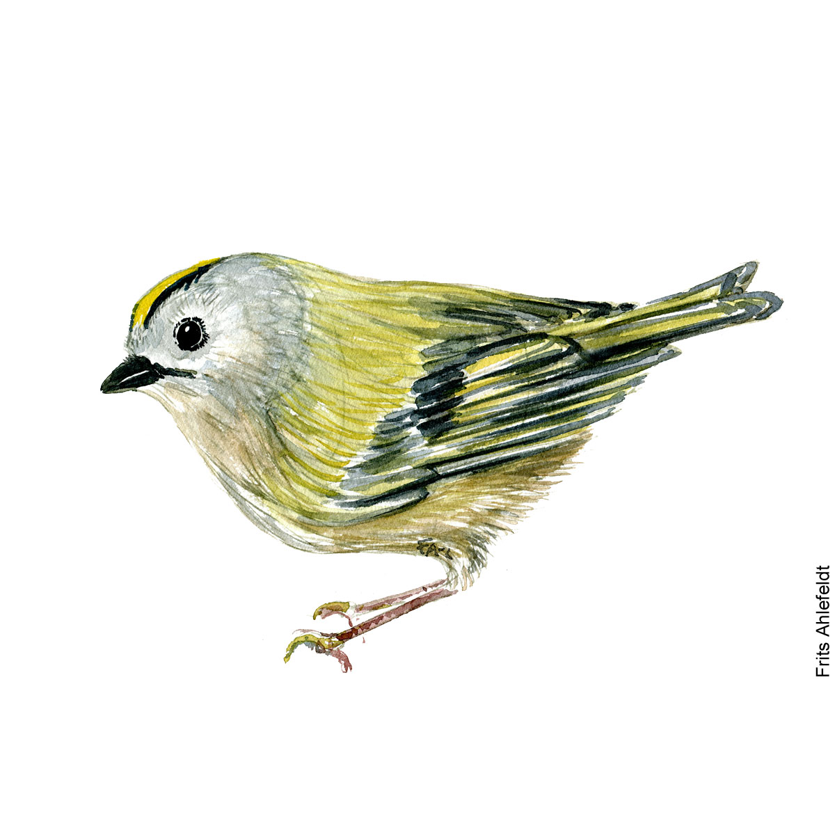 Goldcrest bird watercolor painting. Artwork by Frits Ahlefeldt. Fugle akvarel