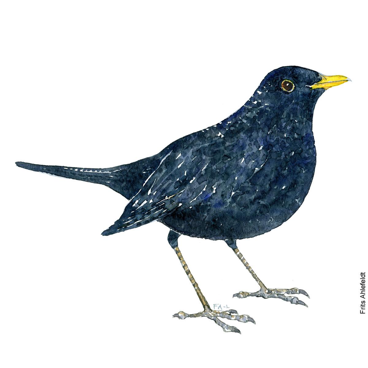 Solsort - Blackbird bird watercolor painting. Artwork by Frits Ahlefeldt. Fugle akvarel