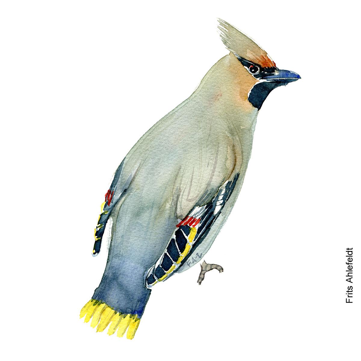 Silkehale - Bohemian waxwing bird watercolor painting. Artwork by Frits Ahlefeldt. Fugle akvarel