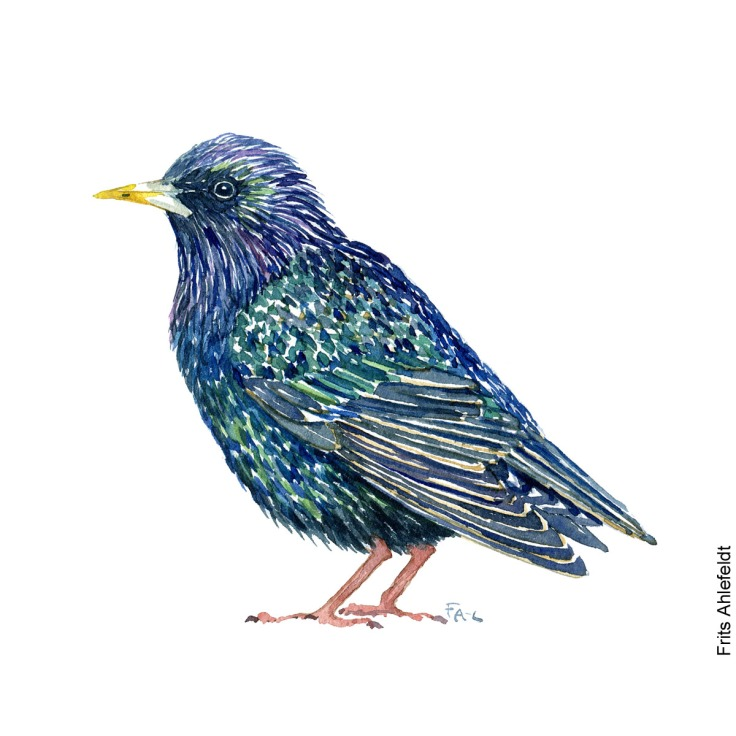 Staer - Common Starling bird watercolor painting. Artwork by Frits Ahlefeldt. Fugle akvarel