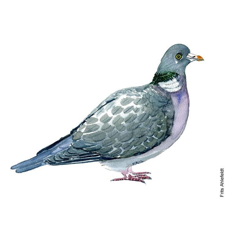 Skovdue - Common wood pigeon bird watercolor painting. Artwork by Frits Ahlefeldt. Fugle akvarel