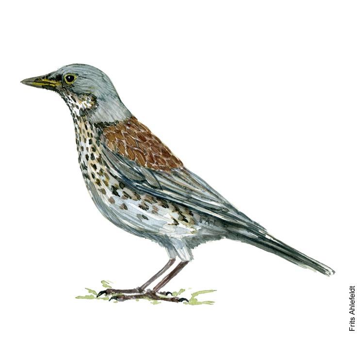 Sjagger - Fieldfare bird watercolor painting. Artwork by Frits Ahlefeldt. Fugle akvarel