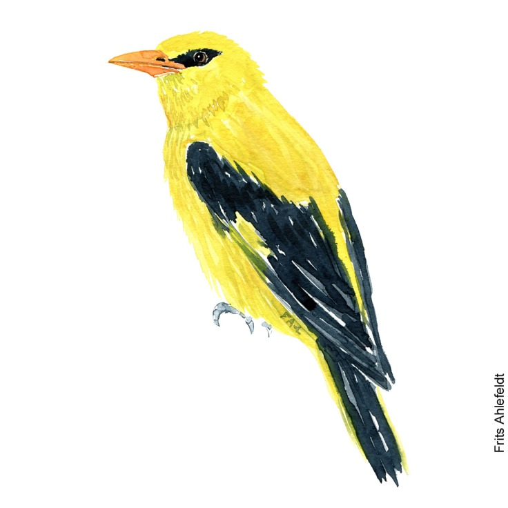 Pirol - Golden oriole bird watercolor painting. Artwork by Frits Ahlefeldt. Fugle akvarel
